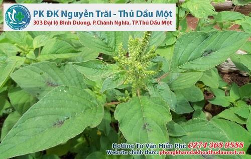 Bài thuốc dân gian chữa lậu từ cây rau dền gai